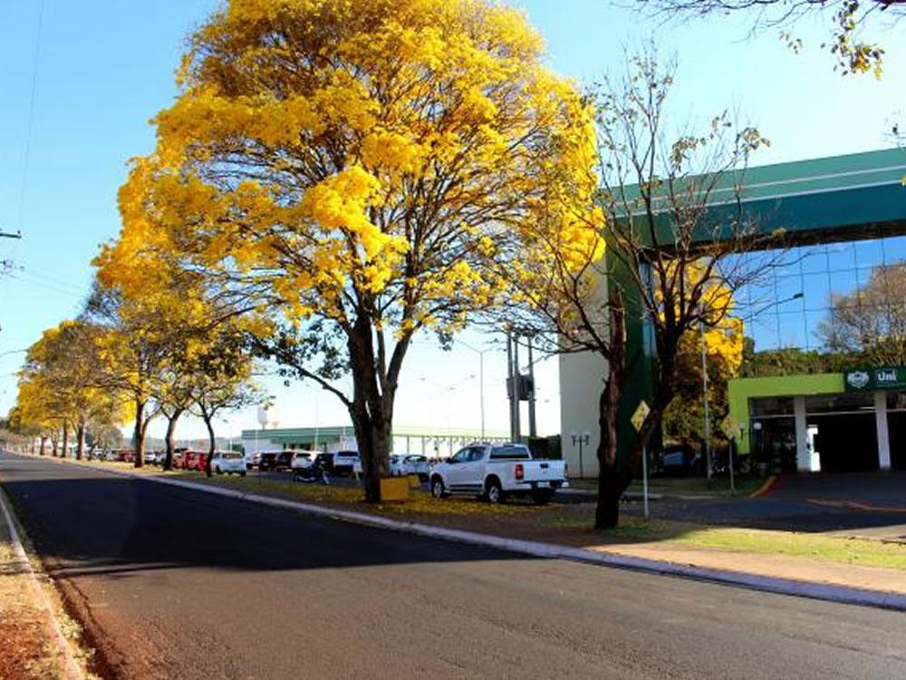 Imagem de Colorido da florada dos ipês encanta quem passa pela avenida da UniRV