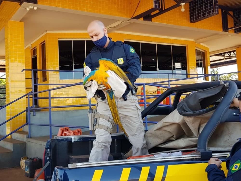 Imagem de Policiais rodoviários resgatam arara na BR-060